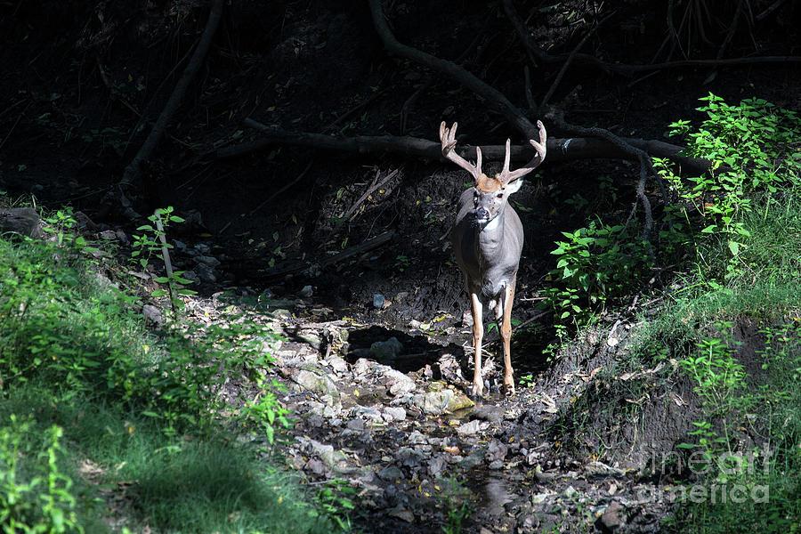 Nature Photograph - Whitetail Buck by Rick Mann