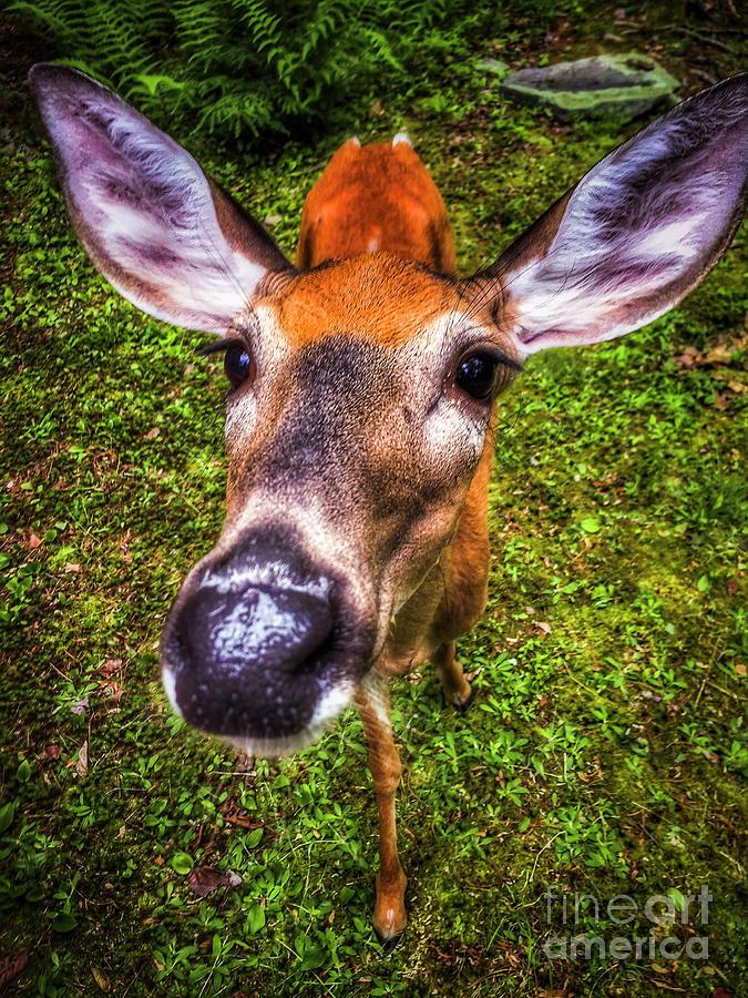 Whitetail Deer Photograph