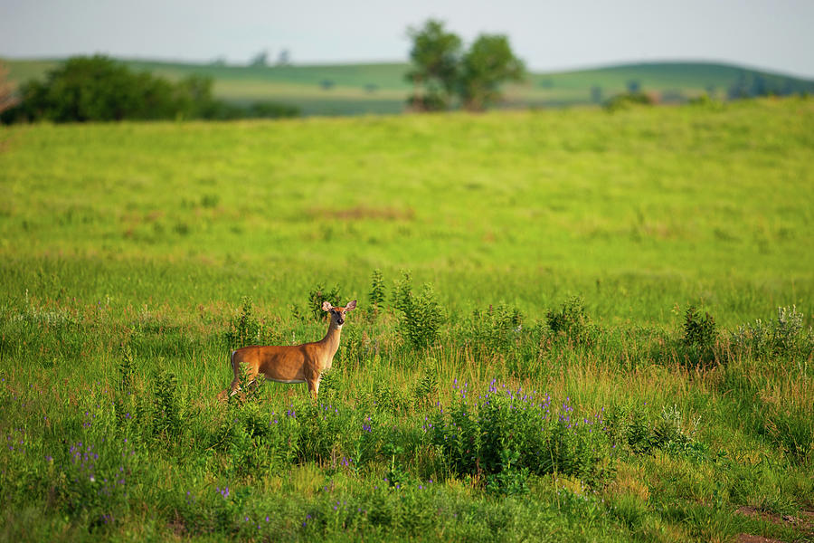 Nature Photograph - Whitetail Doe In Prairie Clover II by Jeff Phillippi