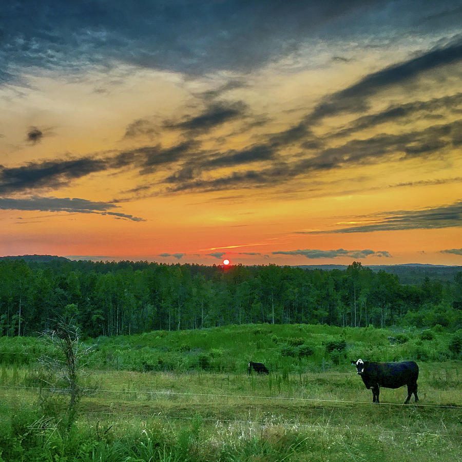 Who puts the Cows to Bed by Michael Frank