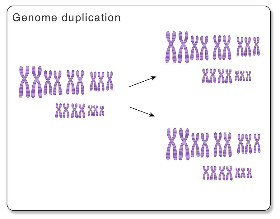 Whole Genome Duplication by MONICA SCHROEDER