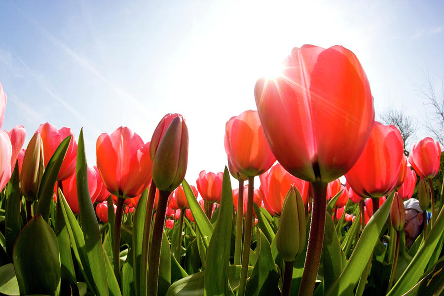 Wide Angle View Of Red Tulip Field Photograph by Darrell Gulin