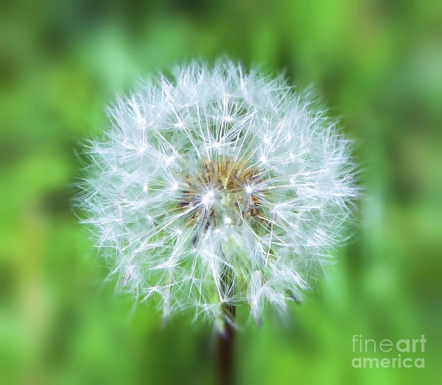 Wild and Wonderful - The Dandelion by Kerri Farley