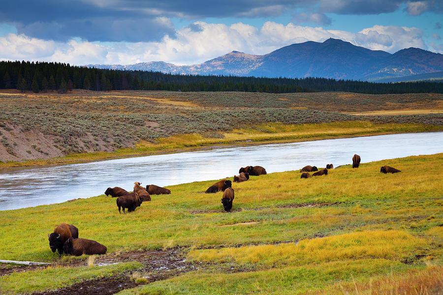 Wild Bison Roam Free Beneath Mountains Photograph by Jamesbrey