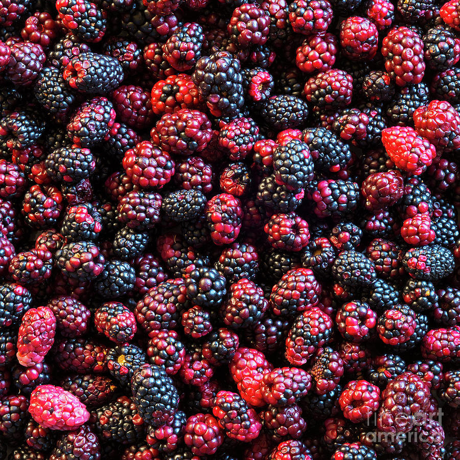 Wild Blackberries Background by Tim Hester