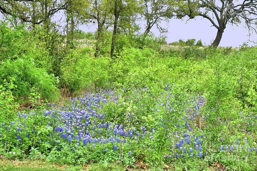 Wild Bluebonnets in Spring by Janette Boyd