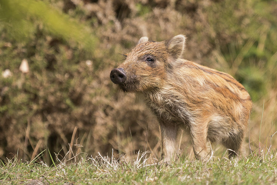 Wild Boar Humbug by Wendy Cooper