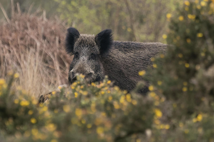 Wild Boar Sow by Wendy Cooper