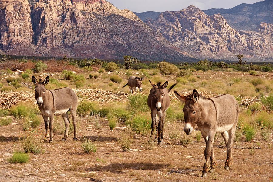 Wild Burros Photograph by John Elk