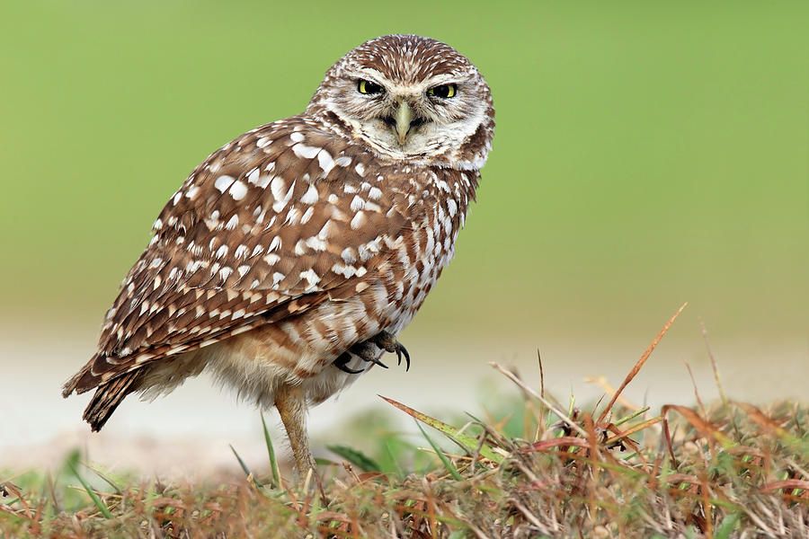 Wild Burrowing Owl Balancing On One Leg Photograph by Mlorenzphotography