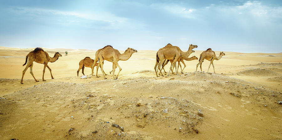 Wild Camels On The Move Photograph
