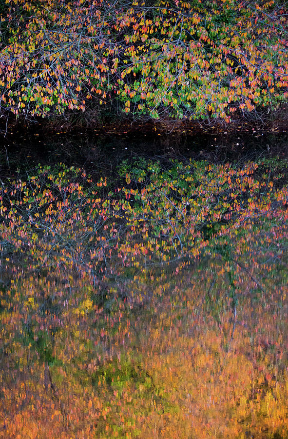 Wild Cherry tree in the Fall, golden reflections on the river by Anita Nicholson