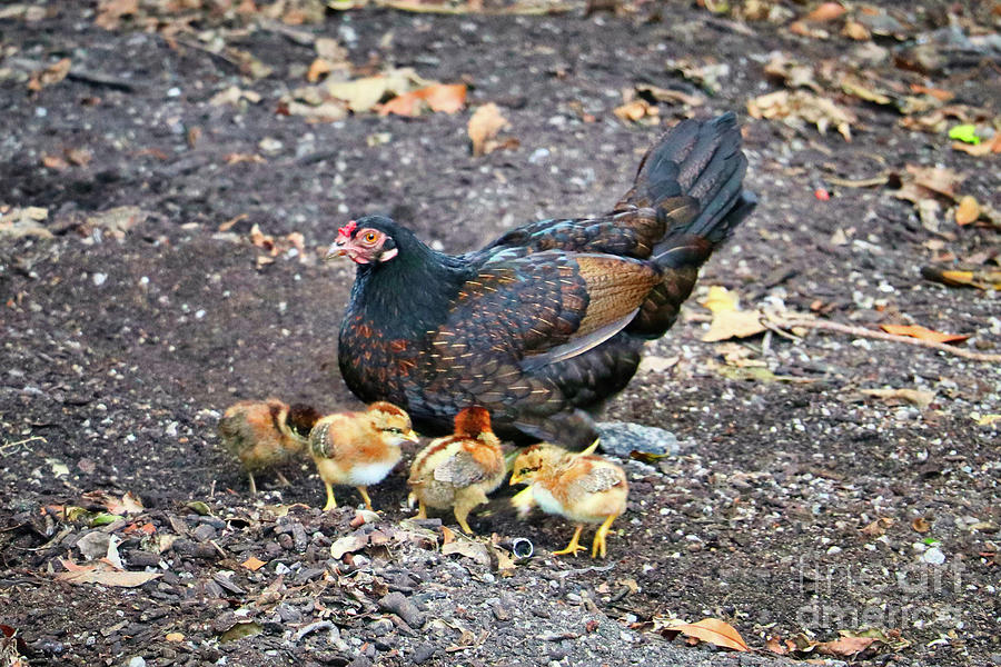 Wild Chickens Photograph - Wild Chickens by Kelly Pennington