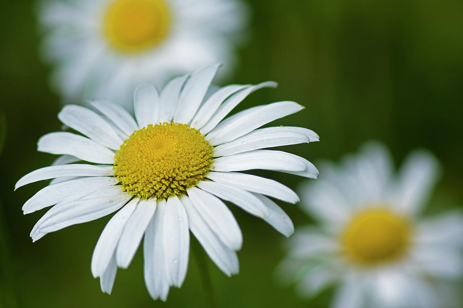 Wild Daisies by Bob Decker