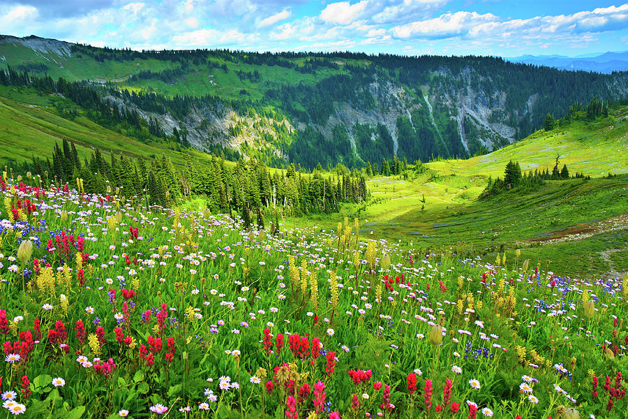 Wild Flowers Blooming On Mount Rainier Photograph by Feng Wei Photography