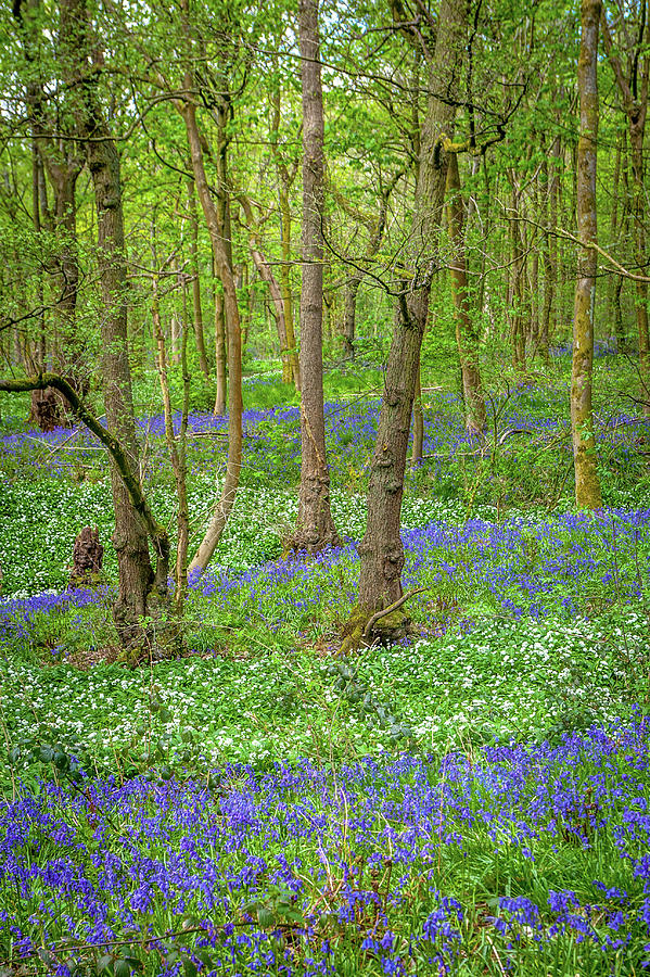 Wild Garlic Photograph - Wild Garlic And Bluebells by W Chris Fooshee