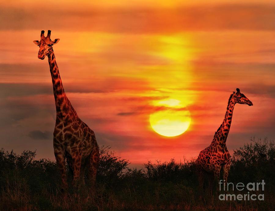 Game Photograph - Wild Giraffes In The Savannah At Sunset by Byelikova Oksana