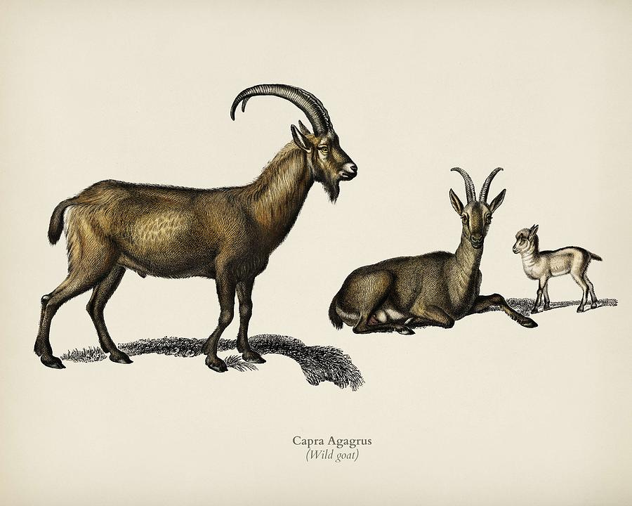 Wild goat  Capra Agagrus  illustrated by Charles Dessalines D Orbigny  1806 1876  by Celestial Images