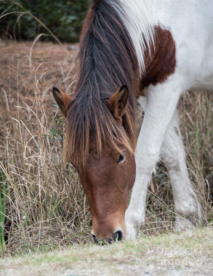 Wild Horse at Assateague Island by John Greco