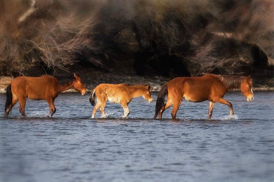 Wild Horses Photograph - Wild Horse Crossing On The River  by Saija Lehtonen