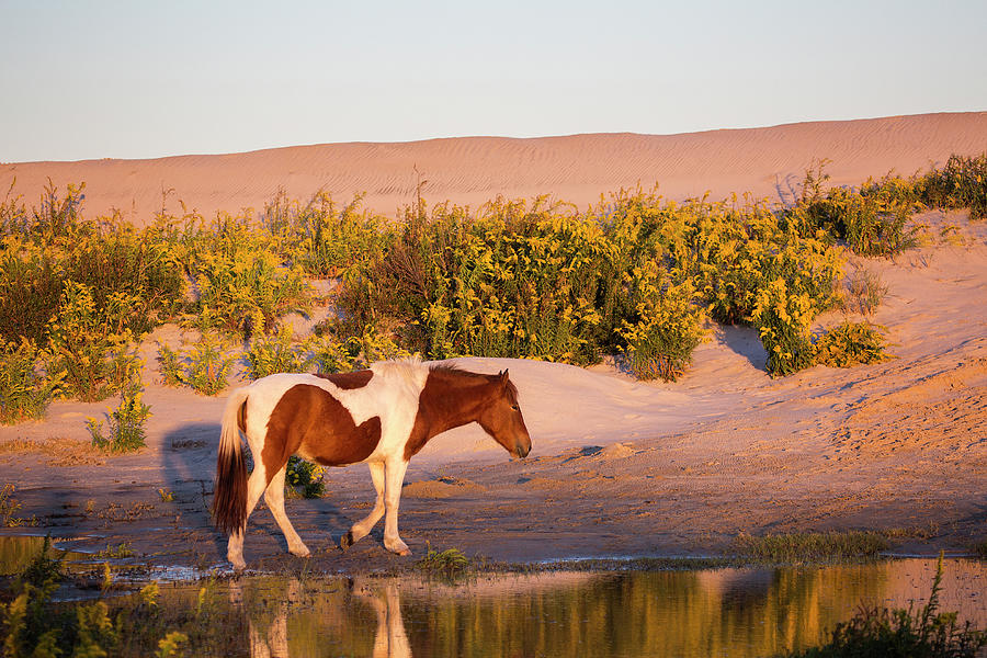 Horse Photograph - Wild Horse on Assateague Island by Stephanie McDowell
