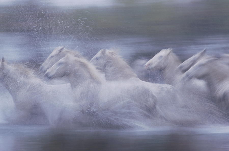 Wild Horses Equus Caballus France Photograph by Art Wolfe
