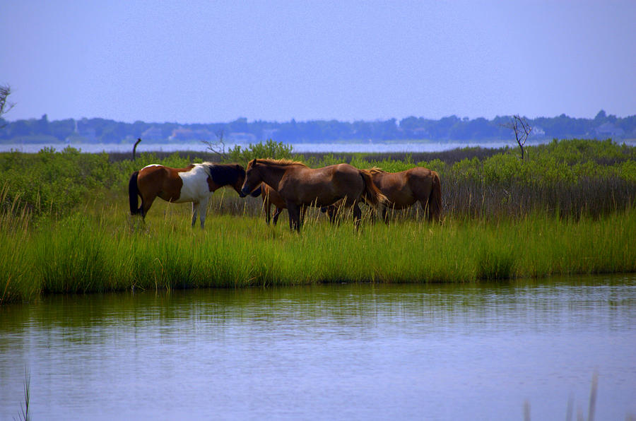 Wild Horses Of Assateague Island Photograph by Robin Houde Photography