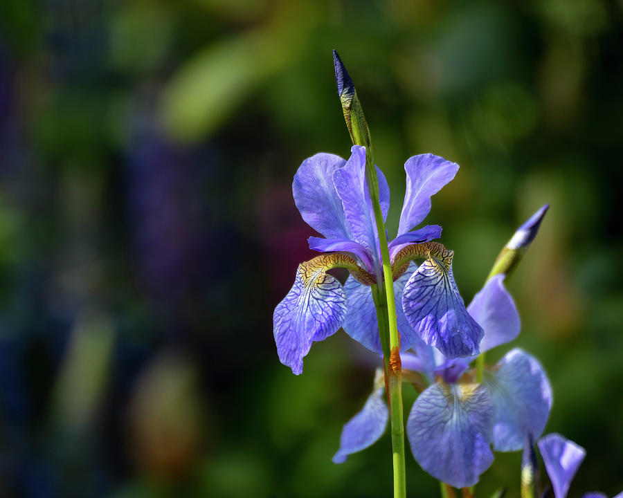 Wild Iris by Catherine Avilez