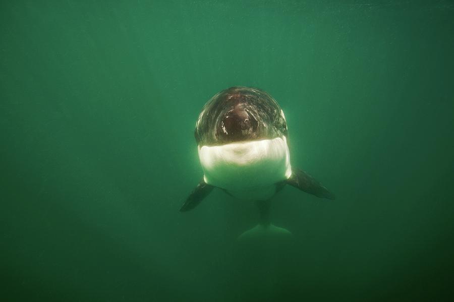 Wild Killer Whale Orca Photograph by James R.d. Scott