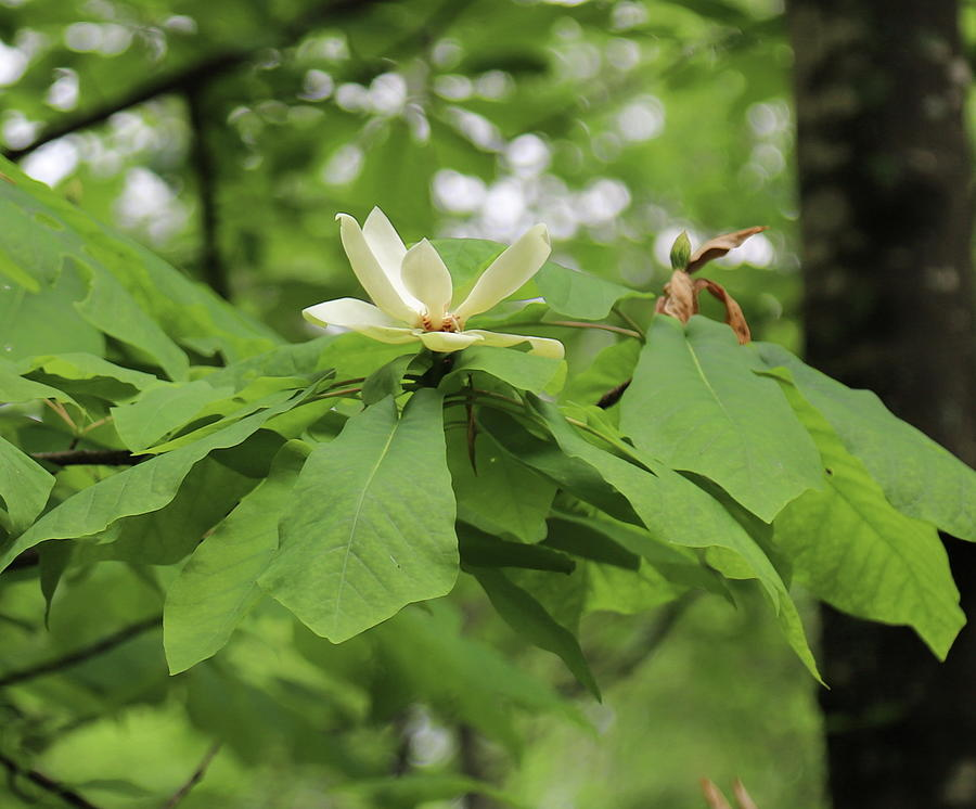 Wild Magnolia Tree Photograph By Cathy Lindsey