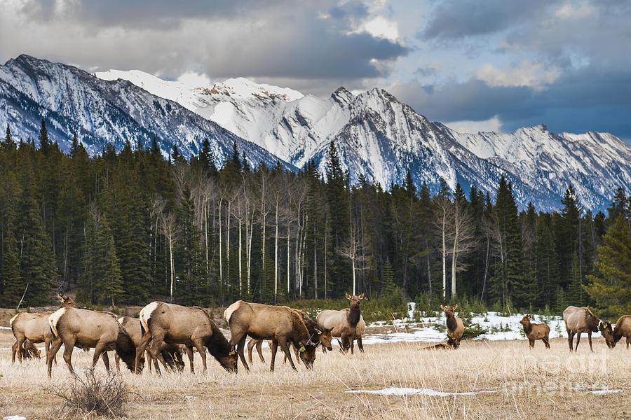 Big Photograph - Wild Mountain Elk, Banff National Park by Bgsmith