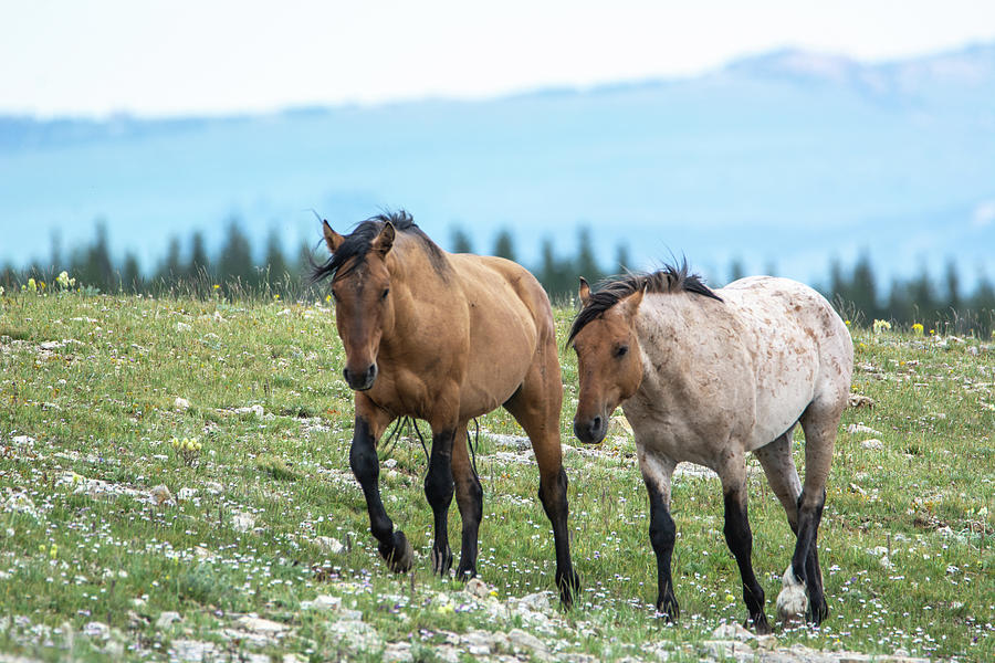 Wild Mustang Friends by Douglas Wielfaert