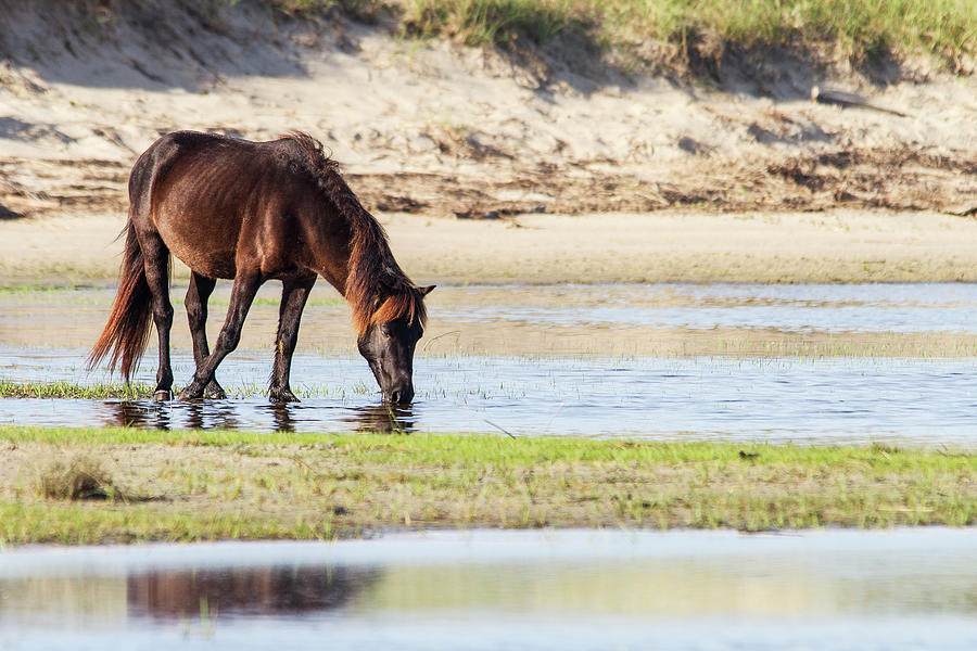 Wild Mustang on Shackleford Banks by Bob Decker