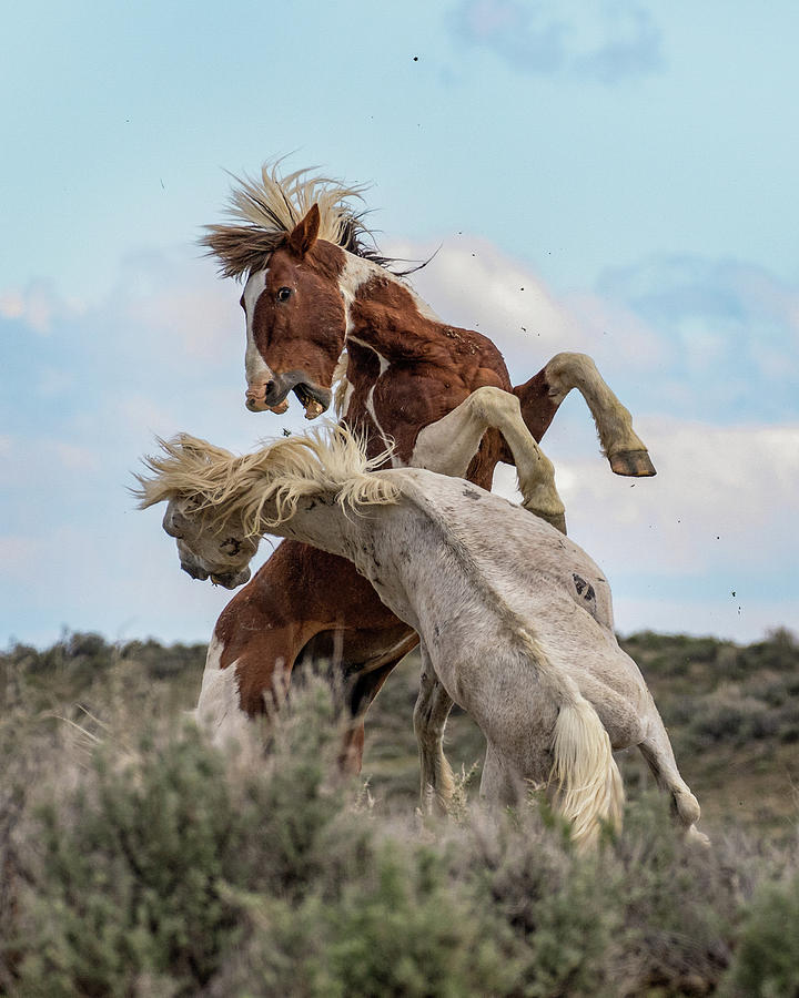 Wild Mustang Stallions Battle by Dawn Key