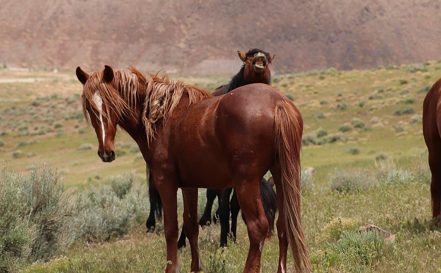 Wild Mustangs of Nevada by Paul Comish