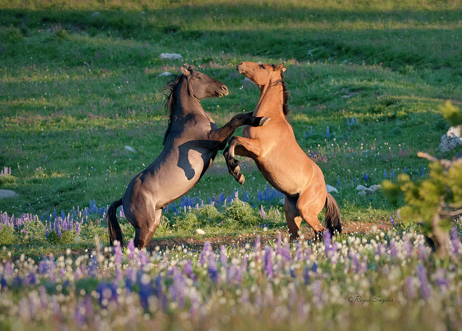 Wild Mustangs Playing 1 Photograph