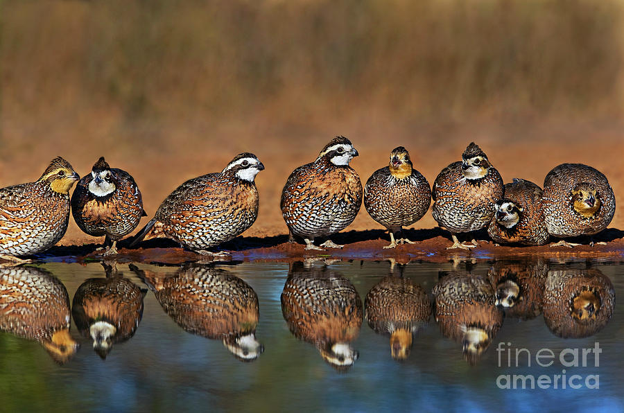 wild northern bobwhite colinas virginianus texas by Dave Welling