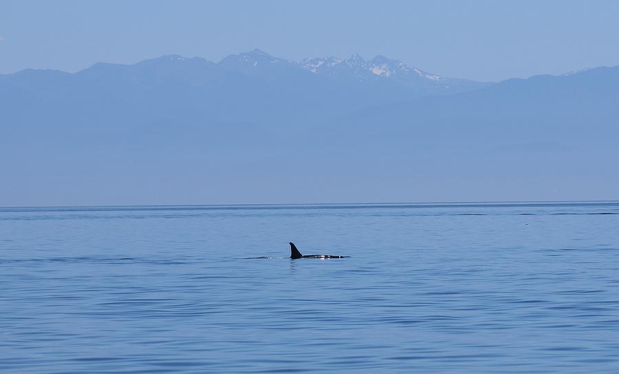 Wild Orca - 2 by Christy Pooschke