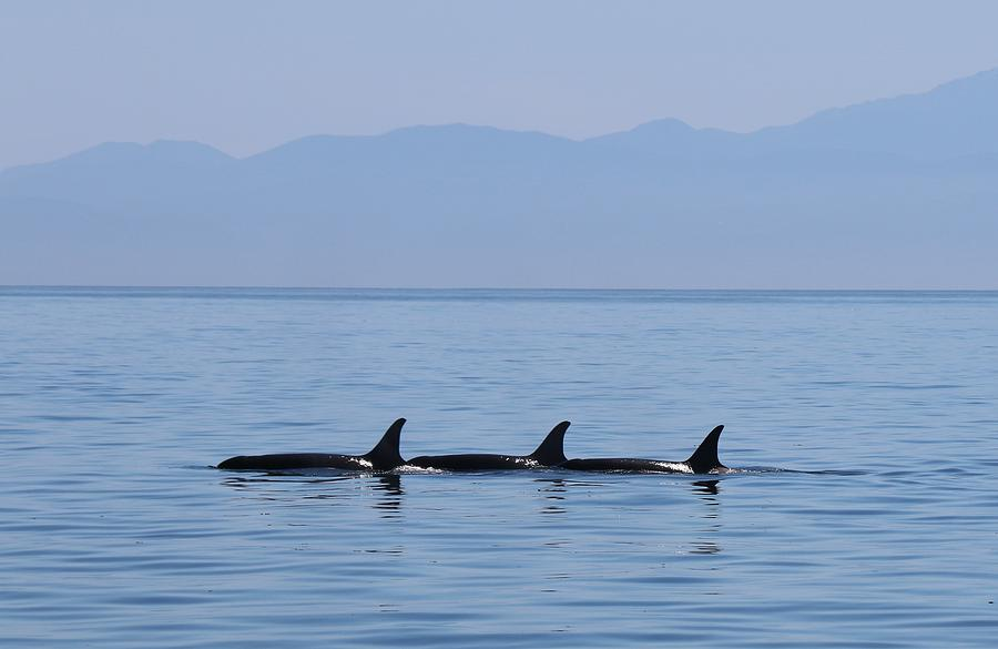 Wild Orcas - 3  by Christy Pooschke