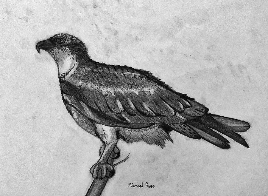 Wild Osprey In Pencil Drawing