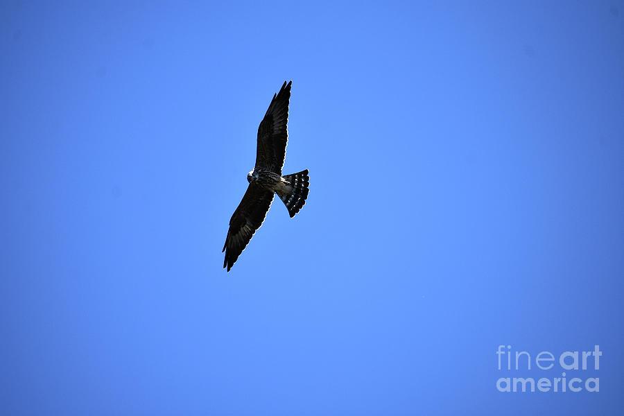 Wild Perigrine Falcon Photograph