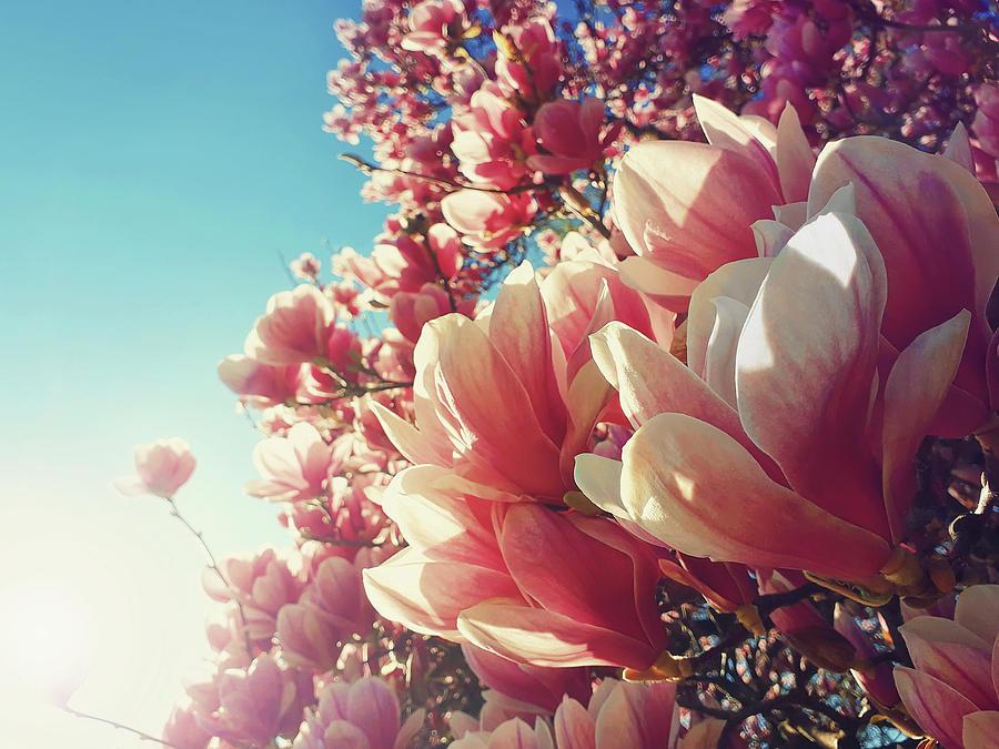 Wild Pink Magnolia Tree Buds Blooming Against Sun Beams Spring