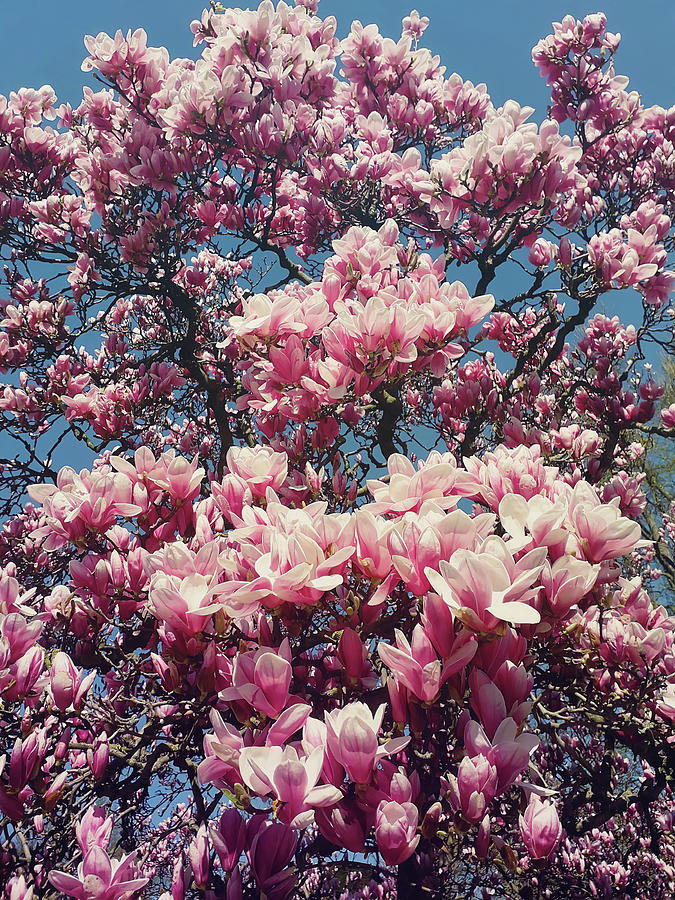 Wild Pink Magnolia Tree Buds Blooming Floral Pattern Over Sunny