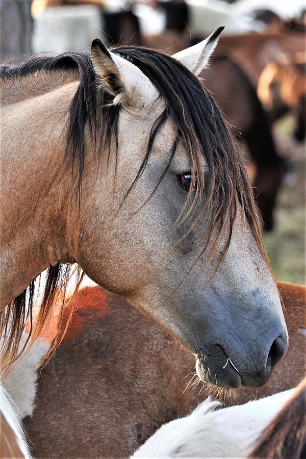Wild Pony of Assateague - Chincoteague Pony Run by Kim Bemis