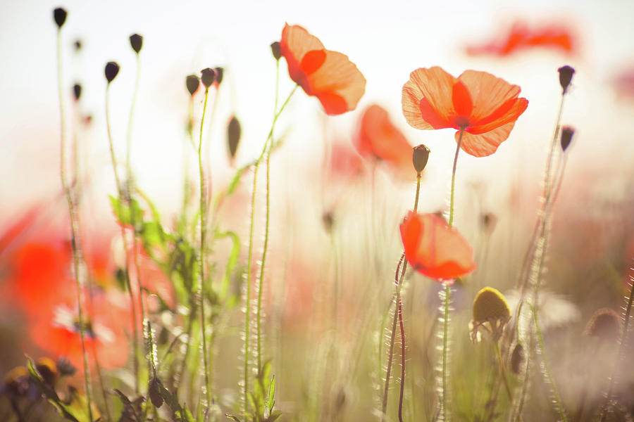 Wild Poppies In Dorset Photograph by Olivia Bell Photography