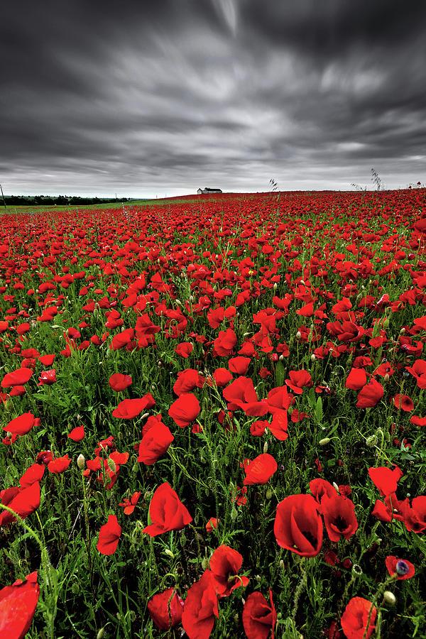 Wild Poppies by Jorge Maia