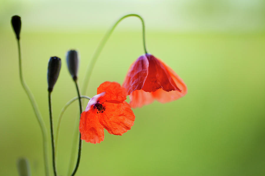 Wild Poppies Photograph by Peter Chadwick Lrps
