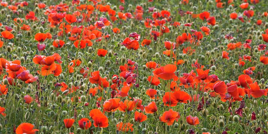 Wild Poppies, Val Dorcia, Pienza Photograph by David C Tomlinson