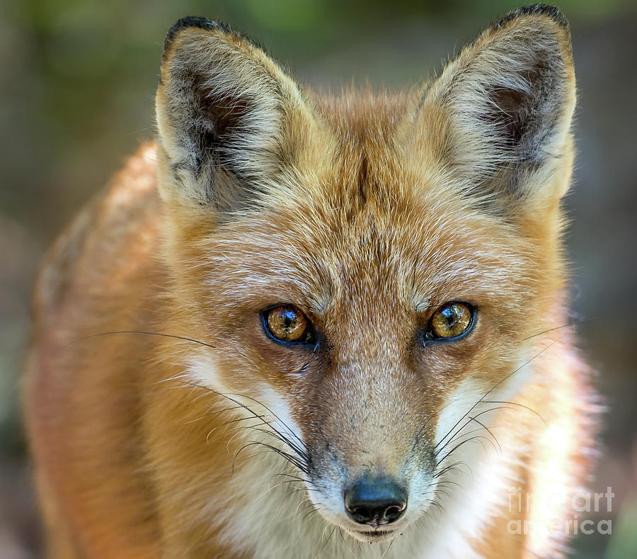 Wild Red Fox Close up Facial Portrait by Patrick Wolf