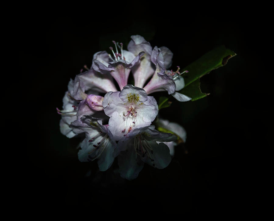 Wild Rhododendron by Judy Hall-Folde